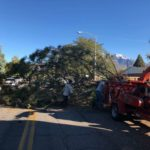 Orem Utah Large Pine Tree Removal
